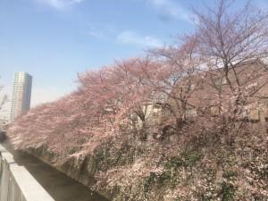 【雑談】お花見@中野坂上〜東中野の神田川沿い